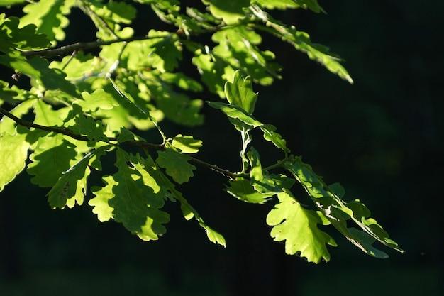 Ramo di quercia, illuminato dal sole con fogliame verde brillante su sfondo scuro
