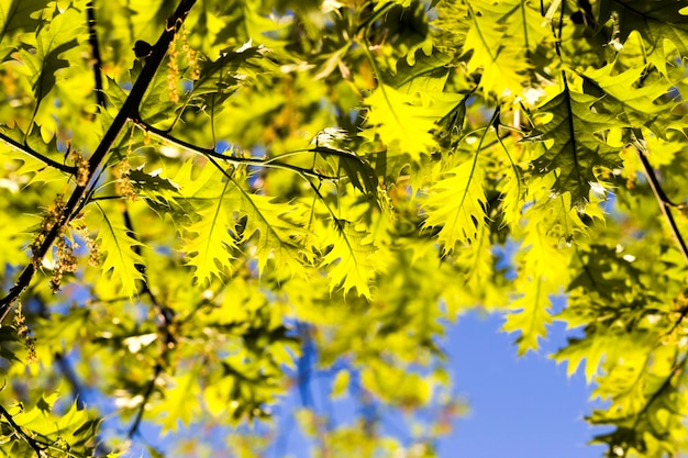 Fogliame di quercia nella stagione primaverile