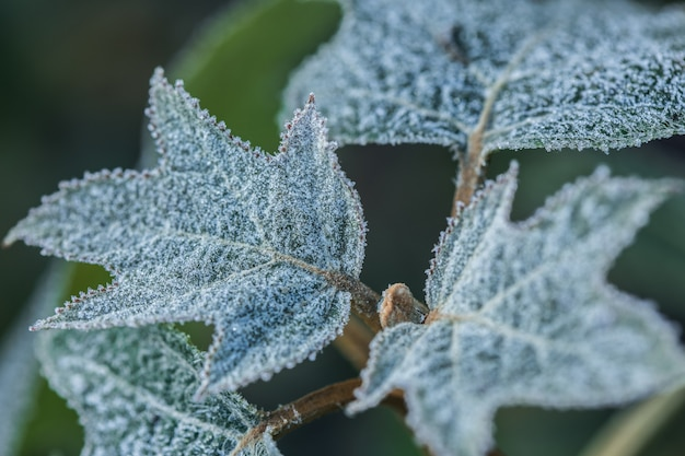 Oakleaf hydrangea quercifolia ricoperta di brina mattutina.