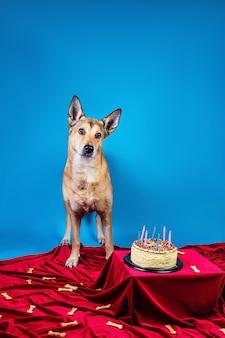 Cane obbediente in piedi su un panno rosso vicino alla torta di compleanno con candele e ossa su sfondo blu