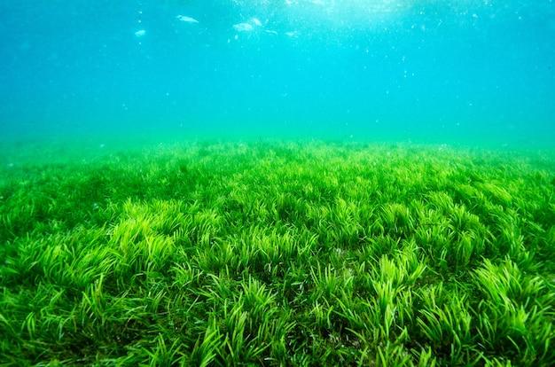 Un campo seagrass subacqueo dell'oceano con luce del sole attraverso la superficie dell'acqua