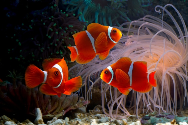 Ocellaris clownfishes tra le barriere coralline