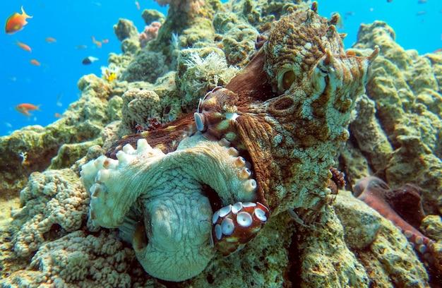 I polpi si accoppiano sulla barriera corallina del mar rosso, eilat, israele