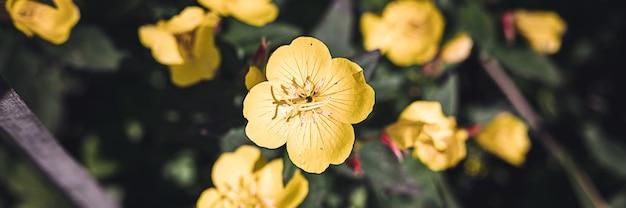 Oenothera biennis o asino o enotera cespuglio di fiori gialli in piena fioritura su uno sfondo di foglie verdi ed erba nel giardino floreale in una giornata estiva. striscione