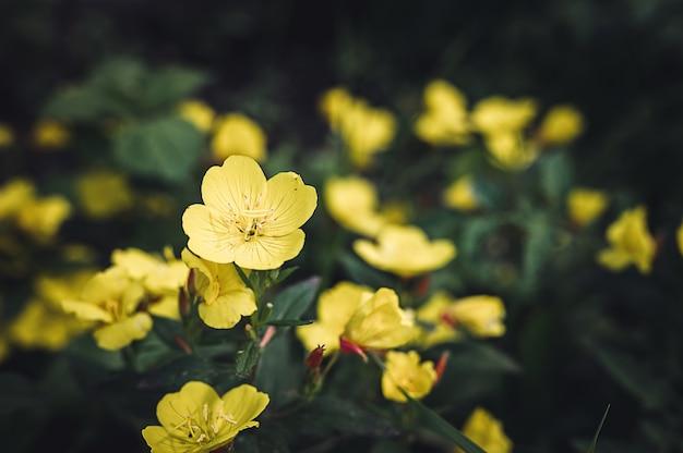 Oenothera biennis o asino o enotera giallo cespuglio di fiori in piena fioritura su uno sfondo di foglie verdi ed erba nel giardino floreale in una giornata estiva