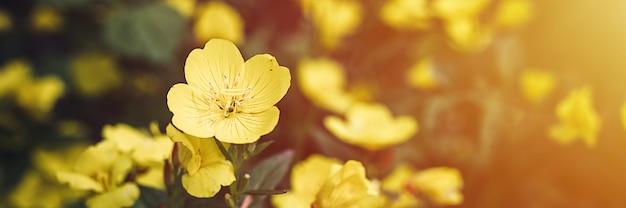 Oenothera biennis o asino o enotera fiore giallo cespuglio in piena fioritura