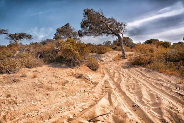 Tracce di veicoli fuoristrada attraverso dune di sabbia costiere in un paesaggio panoramico con alberi spazzati dal vento con tronchi inclinati e bassa vegetazione a macchia