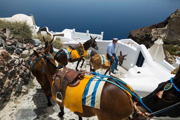 Oia (santorini island) 30 maggio 2016: il giro in asino è un tipico mezzo di trasporto nell'isola di santorini. a oia gli asini vengono utilizzati per trasportare i turisti dalla baia di ammoudy alla sommità della città.