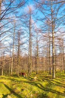 Foresta di faggi di oianleku con cavalli tra gli alberi, nella città di oiartzun, gipuzkoa. paesi baschi