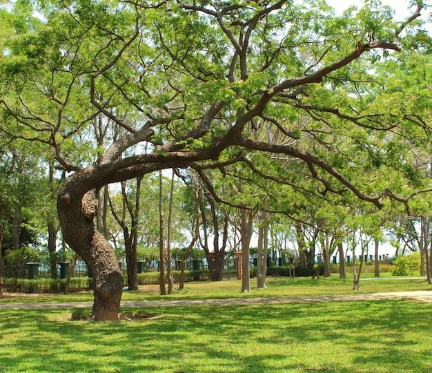 Vecchio grande albero su prato inglese verde nel giardino nel giorno soleggiato con lo spazio della copia.