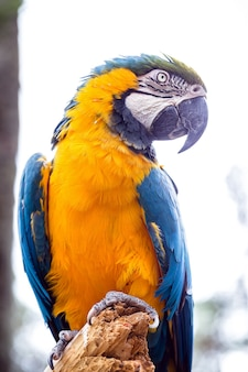 Vecchio uccello ara brasiliano con pancia gialla e blu, originario dell'amazzonia