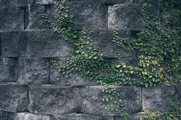 Vecchio muro di mattoni con la pianta dell'edera