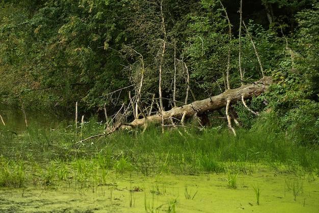 Un vecchio albero caduto giace sulla superficie del fiume, paesaggio forestale estivo.