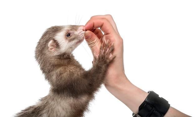 Vecchio furetto che mangia in mano umana, isolato su bianco