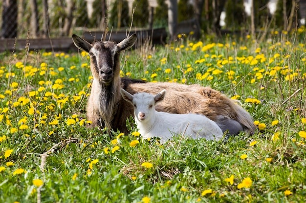 Vecchia capra con bambino bianco sdraiato sull'erba verde insieme a denti di leone in fiore giallo, animali domestici