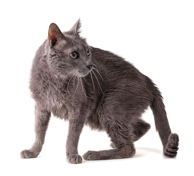 Vecchio gatto grigio sul muro bianco