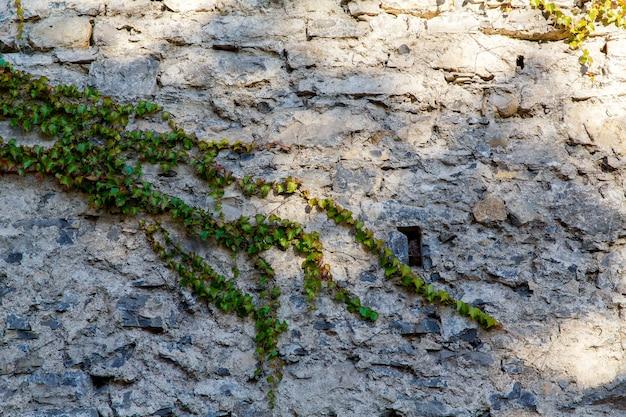 Un vecchio muro coperto di edera in una casa di pietra su una strada a varenna, una piccola cittadina sul lago di como, italy