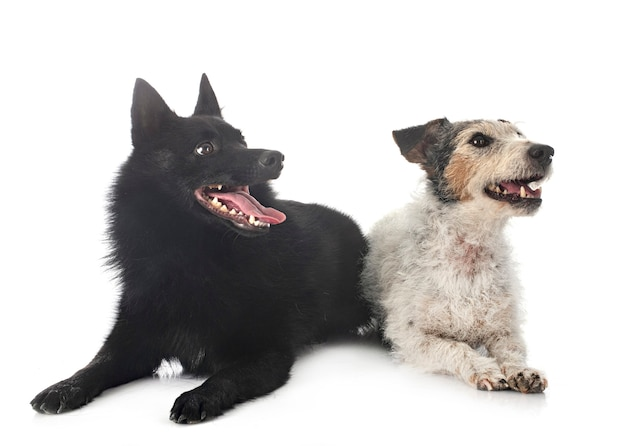 Vecchio jack russel terrier e cani schipperke in posa insieme