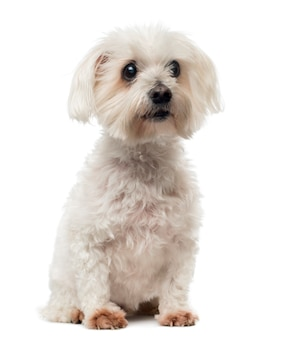 Vecchio cane maltese con cataratta, seduto, guardando lontano
