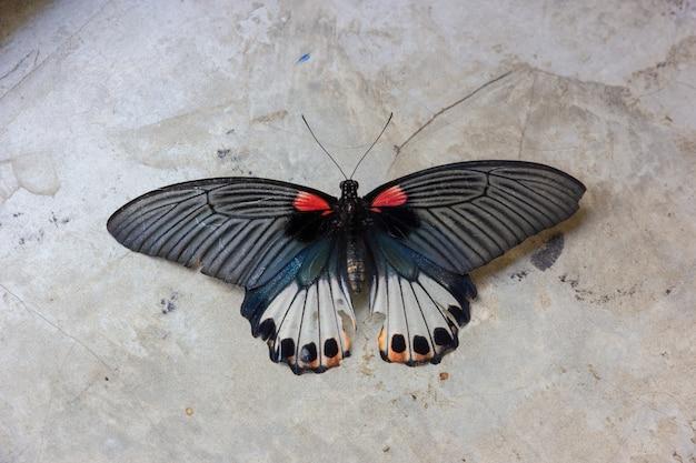 Vecchia farfalla del machaon di papilio o farfalla di coda di rondine sul fondo grigio del cemento