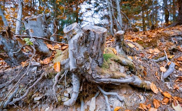 Vecchio ceppo marcio cosparso di foglie cadute multicolori in una fitta foresta autunnale e muffa verde