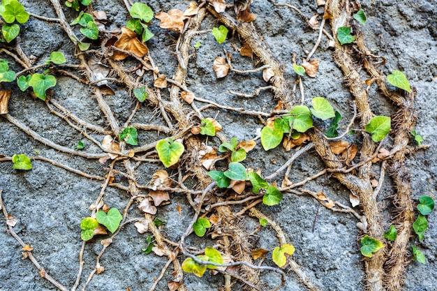 Il vecchio muro di pietra coperto di vegetazione
