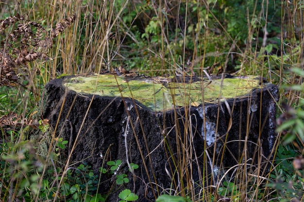 Vecchio ceppo ricoperto di muschio nella foresta autunnale, settembre