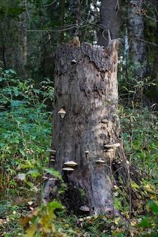 Vecchio ceppo ricoperto di muschio nella foresta autunnale