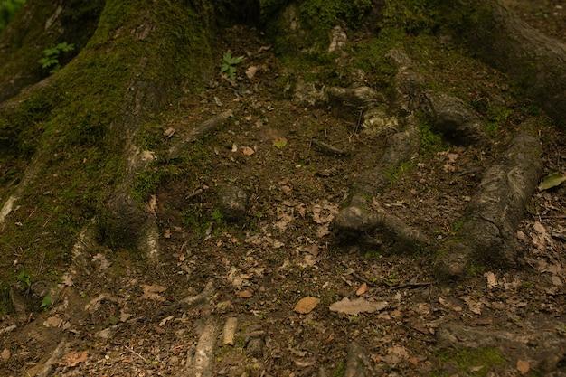 Vecchie radici dell'albero sul suolo nella foresta. primo piano