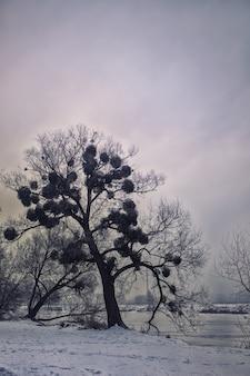 Vecchio albero con vischio
