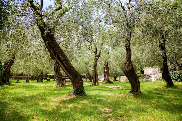 Vecchio parco urbano degli ulivi a nago-torbole, lago di garda, italia