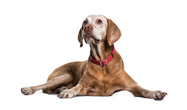 Vecchio cane di vizsla che si riposa, isolato