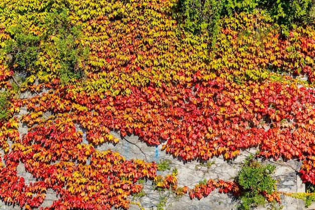 Un vecchio muro ricoperto di uva selvatica multicolore in una casa in pietra in una strada a varenna un piccolo...