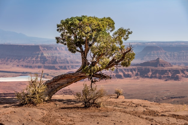 Vecchio albero di pino esposto all'aria sul crinale, dead horse point state park, utah