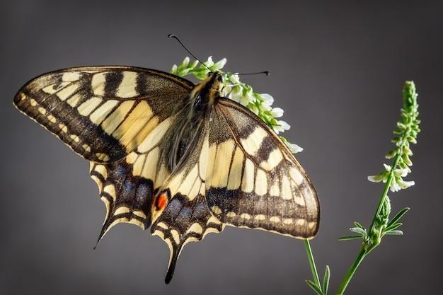Farfalla a coda di rondine del vecchio mondo seduta sulla pianta in uno sfondo grigio