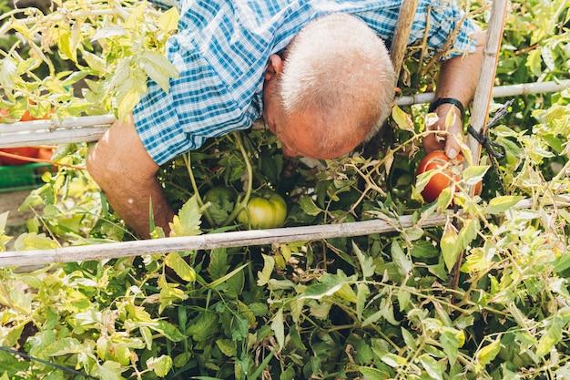 Uomo più anziano che raccoglie i pomodori dalla sua piantagione. uomo che coglie pomodori maturi dalla pianta del suo frutteto.