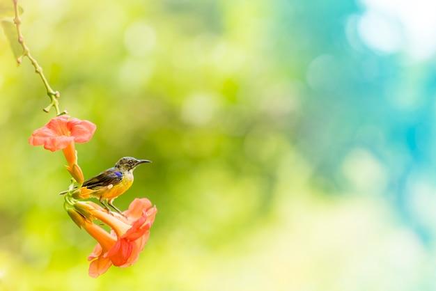 Sunbird sostenuta dall'oliva beve il nettare da un polline ai fiori d'arancio. al mattino della stagione primaverile.