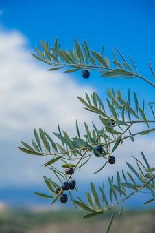 Ramo d'ulivo in un albero di ulivo
