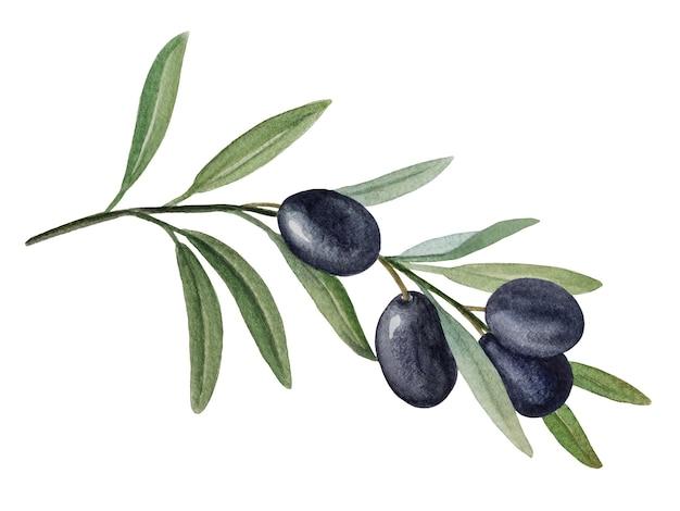 Ramo di ulivo con olive nere illustrazione ad acquerello isolati su sfondo bianco