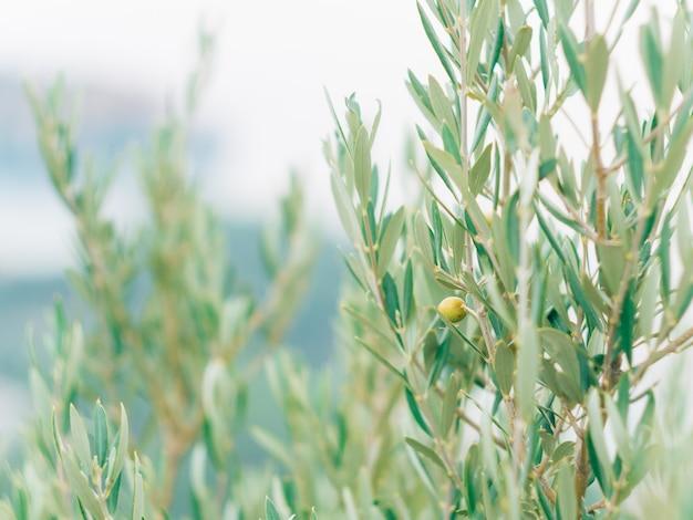 Ramo d'ulivo con frutti uliveti e giardini in montenegro