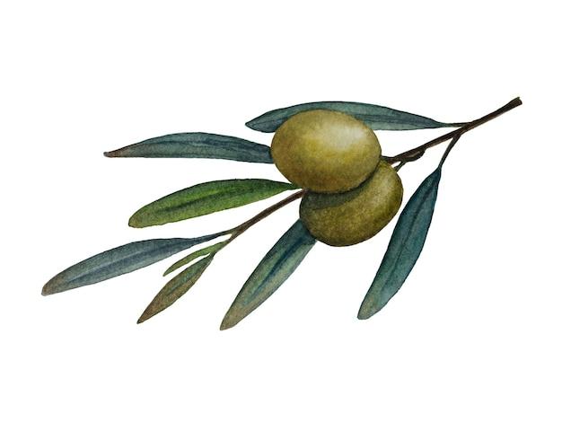 Ramo di ulivo con olive verdi illustrazione ad acquerello isolati su sfondo bianco