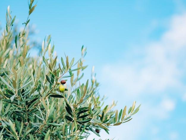 Rami d'ulivo con foglie primo piano uliveti e giardini a m Foto Premium