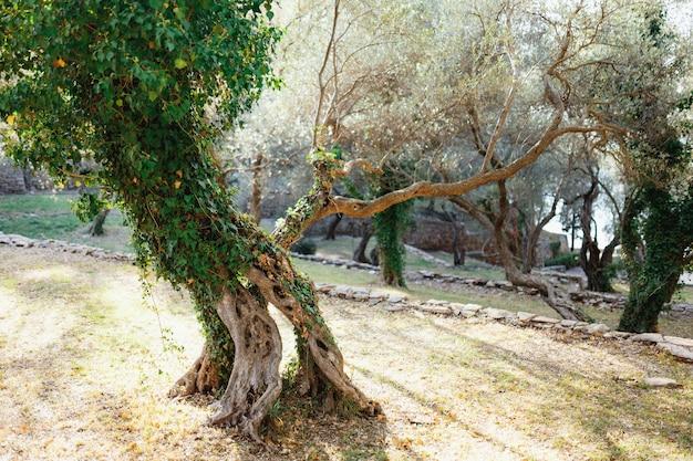 Oliveto in montenegro una forma insolita di tronco d'albero ricoperta di edera