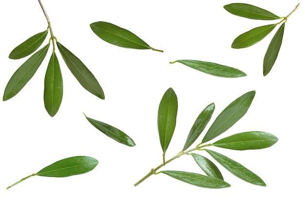 Foglie di oliva e rami su sfondo bianco e rami su sfondo bianco