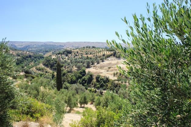 Piantagione di ulivi a creta
