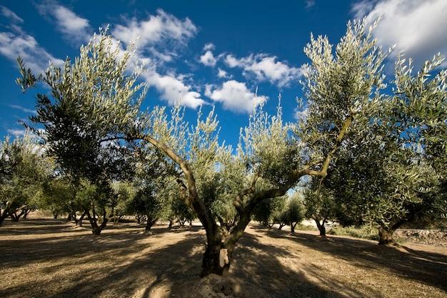 Di olivo in campagna
