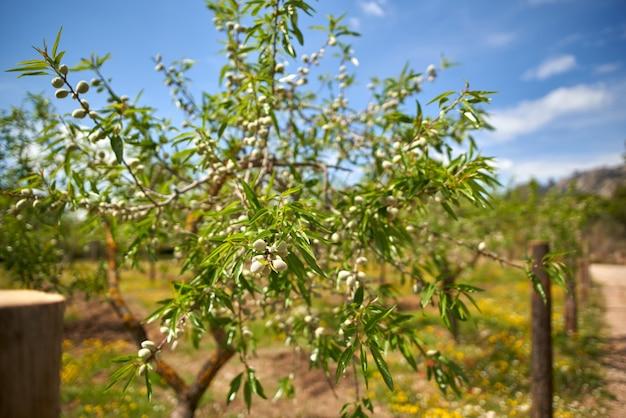 Piantagione di ulivi. un ramo di ulivo sparato da dolly.olive su un ramo.olive mature su un albero.