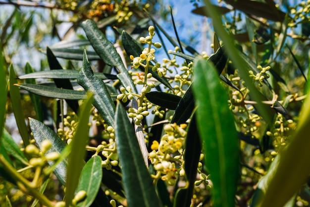 Il polline di olivo è altamente allergico alle persone con problemi respiratori e allergie.
