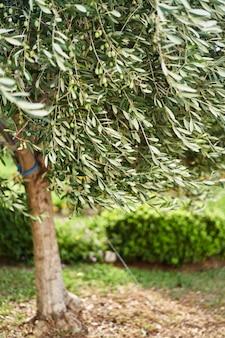 Olivo con olive verdi che crescono in giardino