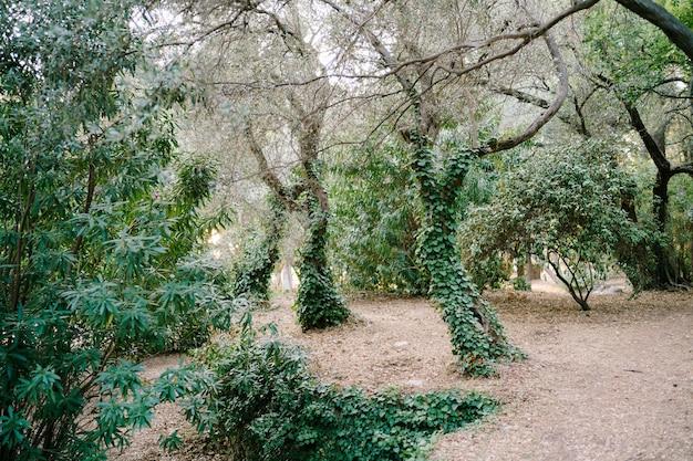 Gli ulivi in un boschetto intrecciati con l'edera verde